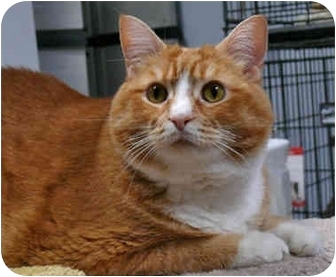 Domestic Shorthair Cat for adoption in Milford, Massachusetts - Spunky