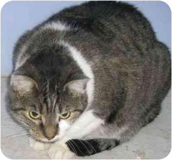Domestic Shorthair Cat for adoption in Strathmore, Alberta - Hope