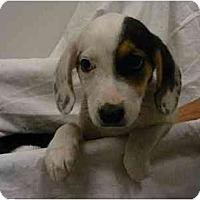 Adopt A Pet :: Beagle pups (m& f) - Alexandria, VA