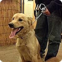 Adopt A Pet :: Caramel - Brattleboro, VT