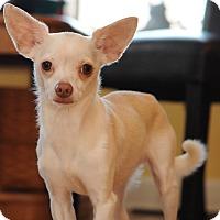 Adopt A Pet :: Boots - Dayton, OH