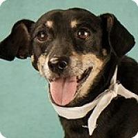 Adopt A Pet :: Clara Belle - Houston, TX