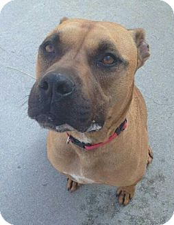 Boxer/Terrier (Unknown Type, Small) Mix Dog for adoption in Maryville, Tennessee - Bronson