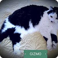 Adopt A Pet :: Gizmo - Fairborn, OH