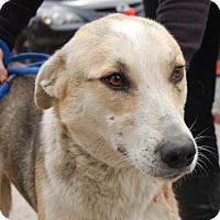 Adopt A Pet :: Sultan - Brooklyn, NY