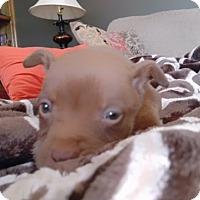 Adopt A Pet :: Levi - Westminster, CO