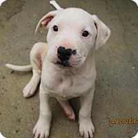 Adopt A Pet :: Jillian - Lincolndale, NY