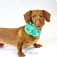 Dachshund Dog for adoption in St. Louis Park, Minnesota - Sizzles