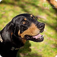 Black and Tan Coonhound Mix Dog for adoption in Springfield, Missouri - Hannah