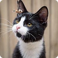 Adopt A Pet :: Kitten 13545 (Chester) - Parlier, CA