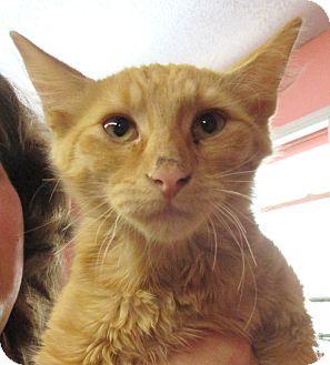 Domestic Shorthair Kitten for adoption in Reeds Spring, Missouri - Sundance
