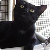 Domestic Shorthair Cat for adoption in Jackson, Missouri - ELEANOR