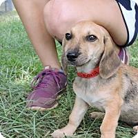 Adopt A Pet :: Angelica - Berkeley Heights, NJ
