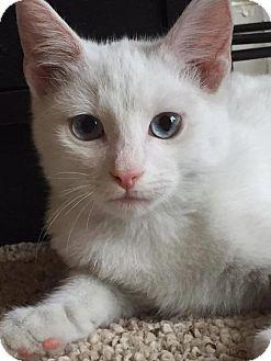 Domestic Shorthair Kitten for adoption in Washington, D.C. - Ice