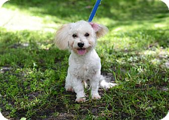 Poodle (Miniature) Mix Dog for adoption in Jupiter, Florida - Tyler