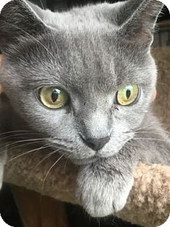 Exotic Cat for adoption in Louisville, Kentucky - Delilah