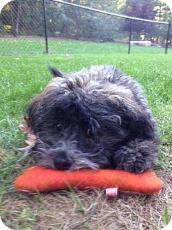 Miniature Poodle Mix Puppy for adoption in Jacksonville, Florida - Eli