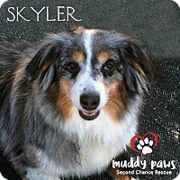 Adopt A Pet :: Skyler (Courtesy Post) - Council Bluffs, IA