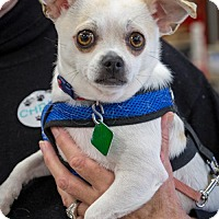Adopt A Pet :: Ferb *LOVES DOGS* - Clarkston, MI