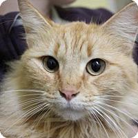 Domestic Mediumhair Cat for adoption in Erwin, Tennessee - Clara