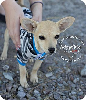 Chihuahua Mix Puppy for adoption in Scottsdale, Arizona - Benny