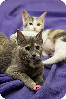 Domestic Shorthair Kitten for adoption in Chicago, Illinois - Dallas & Tulia