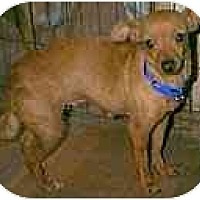 Adopt A Pet :: Chrissy - dewey, AZ