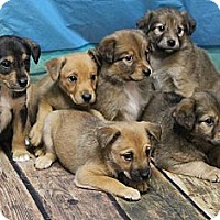 Adopt A Pet :: Summer's Puppies - North Olmsted, OH
