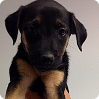 Adopt A Pet :: Cinnamon's Shepherd Boy - Long Beach, CA