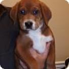 Adopt A Pet :: Chuckie