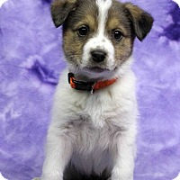 Adopt A Pet :: Francine - Westminster, CO
