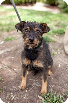 Standard Schnauzer/Miniature Pinscher Mix Puppy for adoption in San Diego, California - O'Donnell