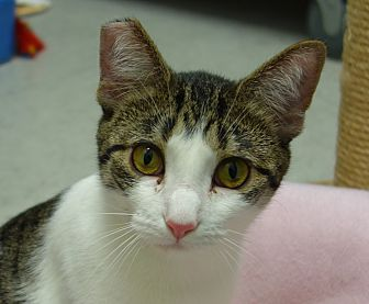 Domestic Shorthair Cat for adoption in Greenfield, Indiana - Gracie