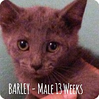 Domestic Shorthair Kitten for adoption in Glendale, Arizona - BARLEY