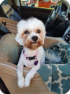 Maltese/Poodle (Toy or Tea Cup) Mix Puppy for adoption in Fountain Valley, California - Luna