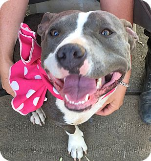 American Staffordshire Terrier/Pit Bull Terrier Mix Dog for adoption in Los Angeles, California - VIDEO-Sarah-URGENT