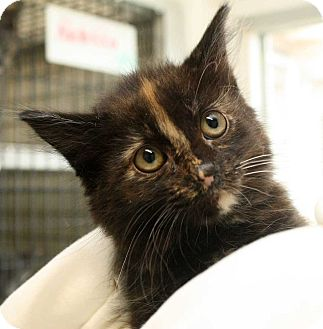 Domestic Shorthair Kitten for adoption in Fort Madison, Iowa - Weeble