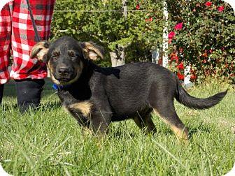 Australian Cattle Dog/Shepherd (Unknown Type) Mix Puppy for adoption in Batavia, Ohio - Snowy