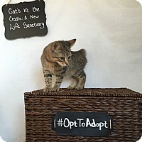 Manx Kitten for adoption in Mosheim, Tennessee - Bobby