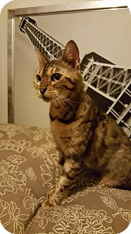Bengal Cat for adoption in Mission Viejo, California - Xena