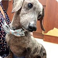 Adopt A Pet :: Jandell - Weston, FL