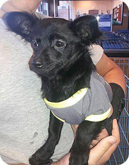 Chihuahua/Maltese Mix Puppy for adoption in Richmond, California - Mugwhy