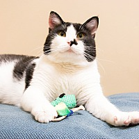 Adopt A Pet :: Stuart Little - Chicago, IL