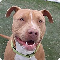 Adopt A Pet :: *ANGUS - Las Vegas, NV