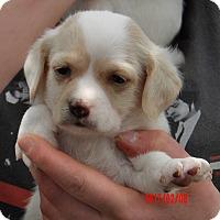 Adopt A Pet :: Sheldon (2 lb) Video! - Williamsport, MD