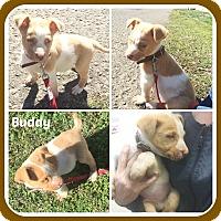 Adopt A Pet :: BENSON - Malvern, AR