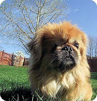 Pekingese Dog for adoption in Elizabethtown, Pennsylvania - Larry