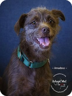 Border Terrier Mix Dog for adoption in Phoenix, Arizona - Amadeus