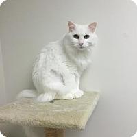Domestic Mediumhair Cat for adoption in Denver, Colorado - Cottonball