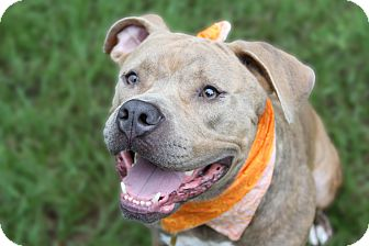 Pit Bull Terrier Mix Dog for adoption in Odessa, Florida - Xavier